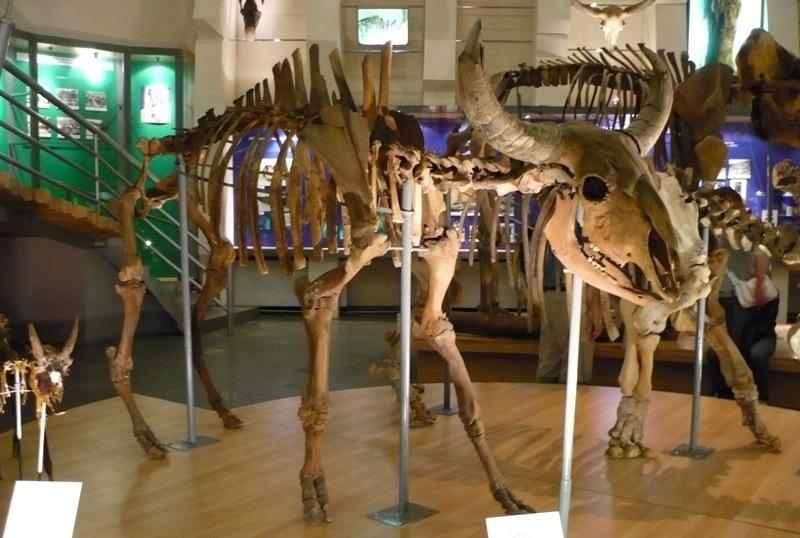 Zdjęcie ilustracyjne: szkielet żubra pierwotnego (fot. wikipedia)